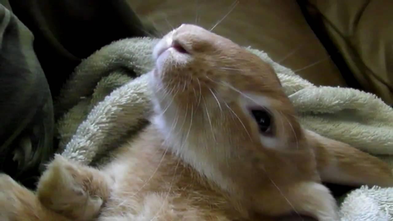 Butterscotch The Pet Bunny Rabbit Sleeping Like A Baby