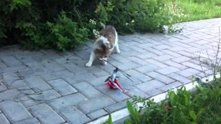 Кот и вертолет(Кот и игрушечный вертолет., 2013-11-20T12:06:30.000Z)