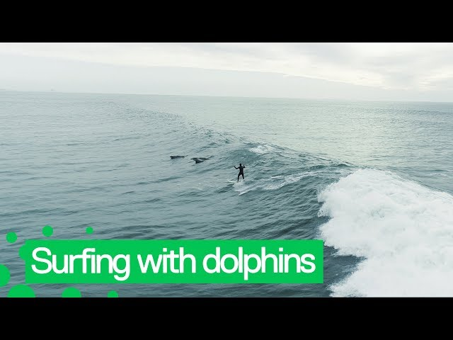 Dolphins Jump Alongside Surfer Off LA Coast