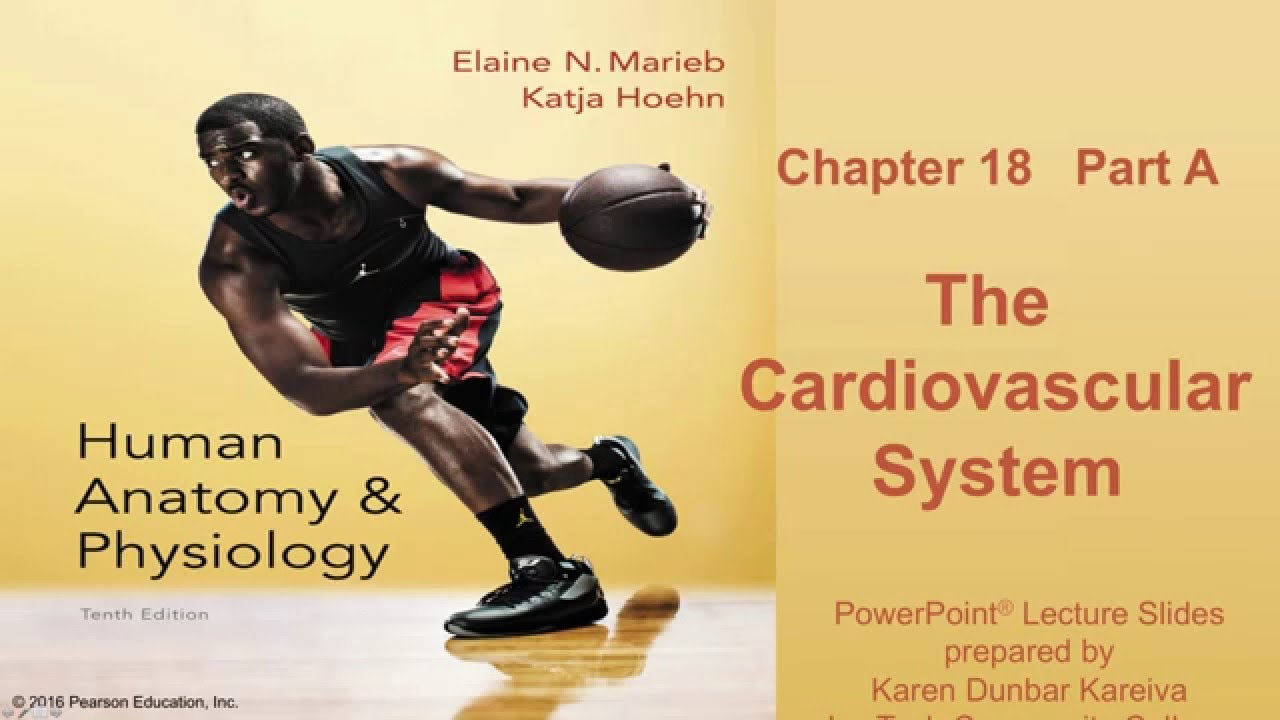 Anatomy and Physiology Chapter 18 Part A lecture: The Cardiovascular ...