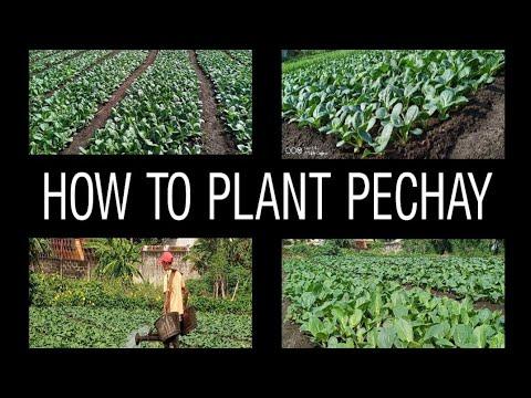 HOW TO PLANT PECHAY