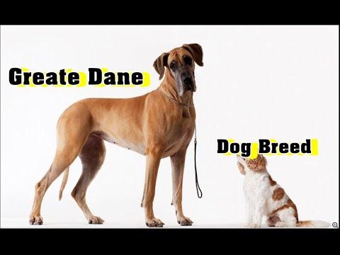 Great Dane Dog Breed | கிரேட் டேண் நாய் இனங்கள்