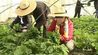 [양구] 강원도 농업인력지원봉사단 양구지역 농가 일손돕…
