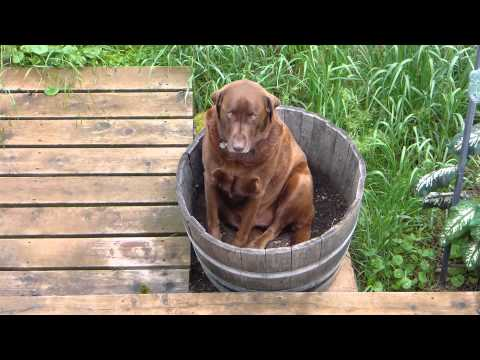 Amazing Sweet Cute Big Chocolate Labrador Dog Sitting in my Herb Garden Barrel Cooling off his Butt