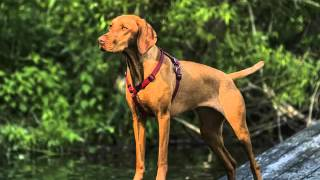 Vizsla Dogs | Dog Breed Vizsla Set Of Cute Pictures