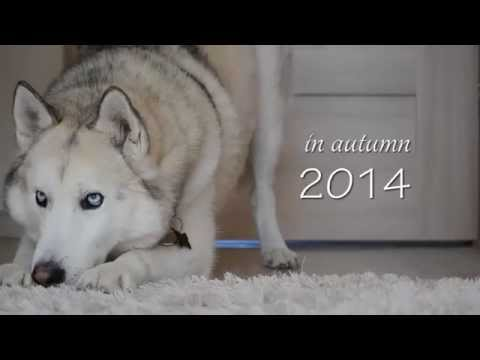 Dino - Awesome Husky Tricks // AUTUMN 2014 // Trailer