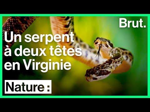 Un serpent à deux têtes découvert en Virginie
