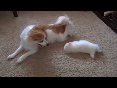 Cute chihuahua / pomeranian puppy plays with mother - Watching a puppy grow