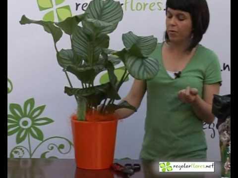 Cuidado de la planta Maranta - Como cuidar las plantas