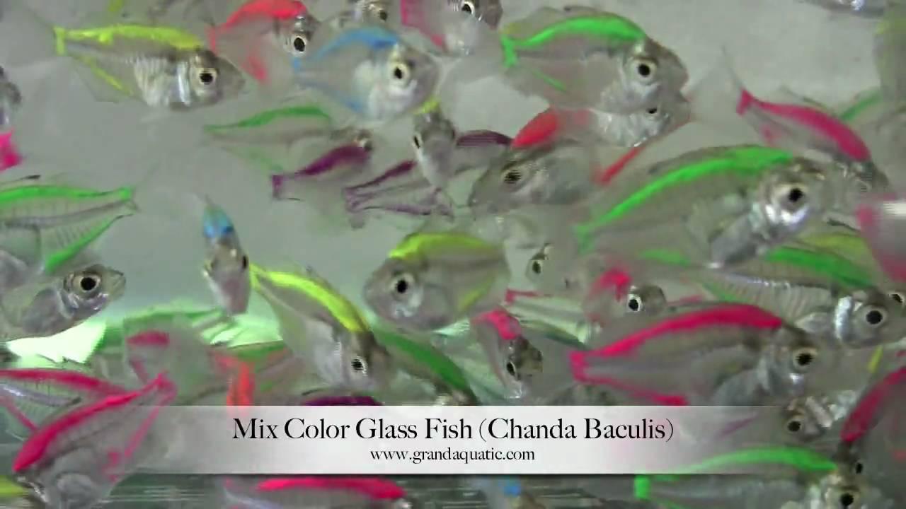 Glass fish mix color chanda baculis aquarium tropical for Tropical fish wholesale