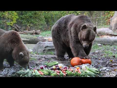 Grizzly Bear Thanksgiving Feast at the Toronto Zoo