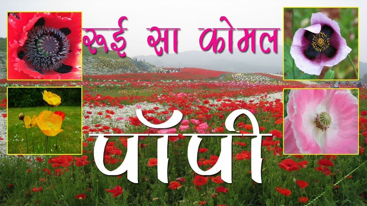 How to grow poppy flowering plant in hindi youtube how to grow poppy flowering plant in hindi mightylinksfo