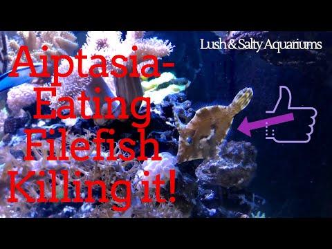 Aiptasia Eating Filefish Working Wonders!