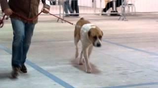 AK BIAGUL KARANUKER - CENTRAL ASIAN SHEPHERD DOG