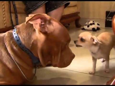 Killer Dog ?? pitbull vs chihuahua