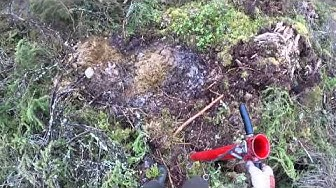 Kuusen istutus pottiputkella - 100 taimea 21 minuutin aikana