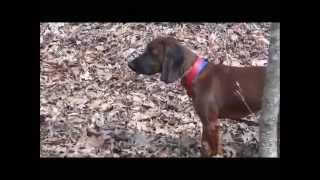 Blood Dog Training- Bavarian Mountain Hound