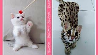 Cute Cats Doing Funny Things Compilation 2018 - Vidéos Drôles De Chats