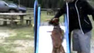 Becco, A Cute English Cocker Spaniel, Wishes To Climb A Slide Backwards!! Funny!!