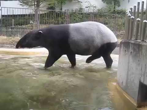 多摩動物公園のバク - YouTube