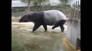多摩動物公園のバク