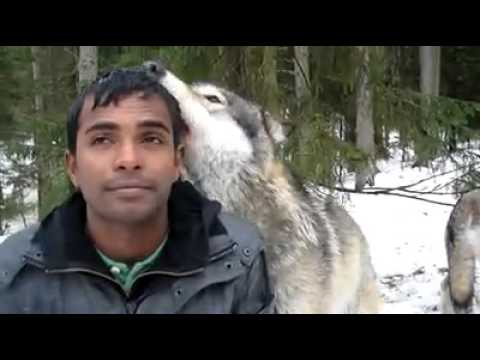 WOLVES are dangerous but they are also FRIENDLY