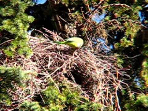 Wild Quaker Parrots in Illinois.avi