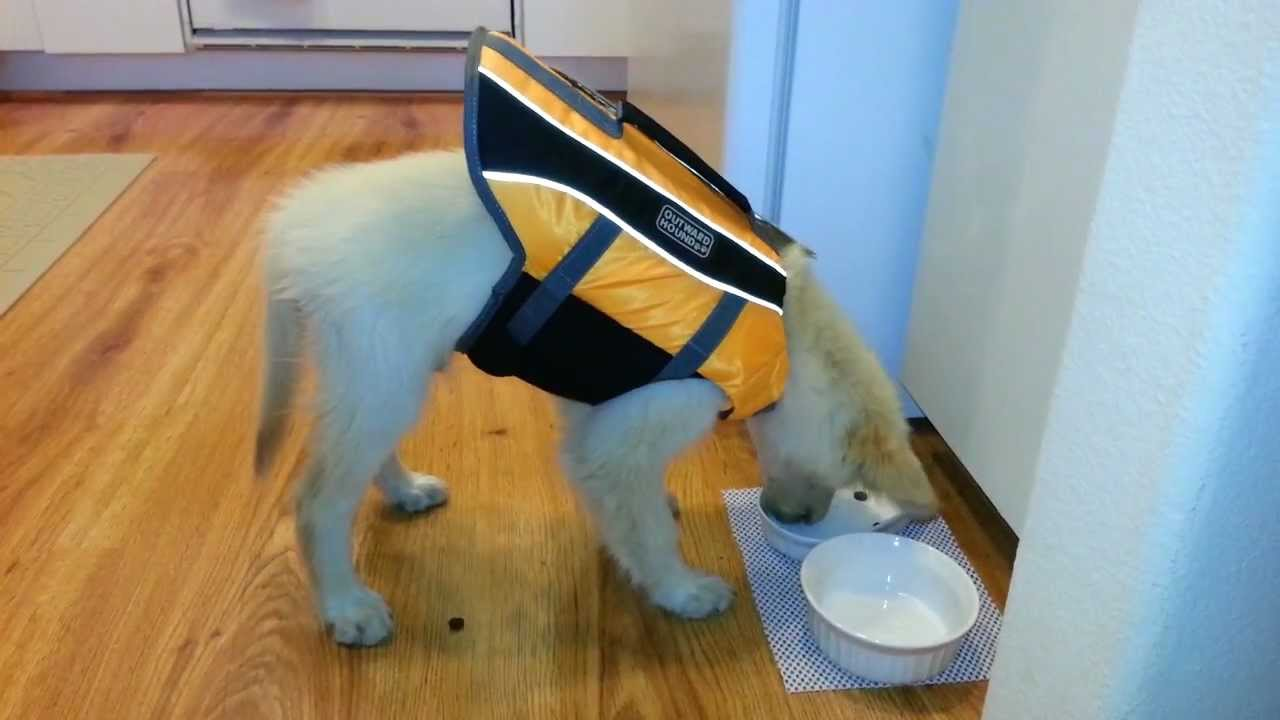 Golden Retriever Puppy Wearing His Outward Hound Life Jacket While