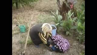 видео Астра новобельгийская, посадка и уход