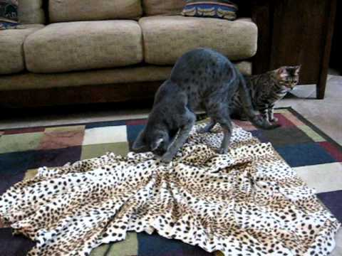 Thumbnail for Cat Video F2 Blue Savannah cat & Bengal cat hunt