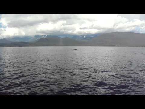 Humpback whale in the Lynn Canal