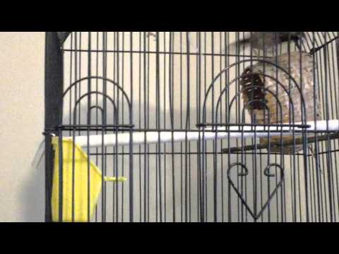 In this video I record my C F W Psir Finches, Society Finches, and Zebra Finches!