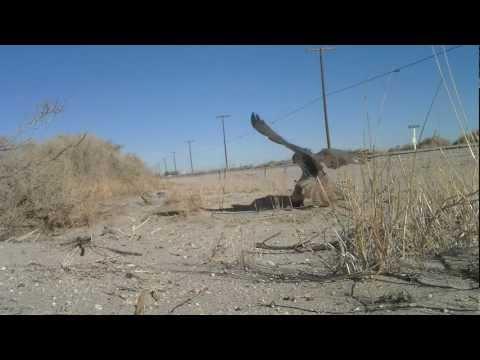 Elite Falconry Trapping Prairie Falcon w/ Ring Padam