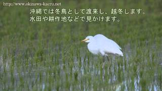 チュウサギ コウノトリ目サギ科 Egretta intermedia