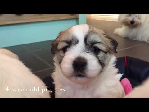 Adorable four week old puppies! - Coton de Tulear