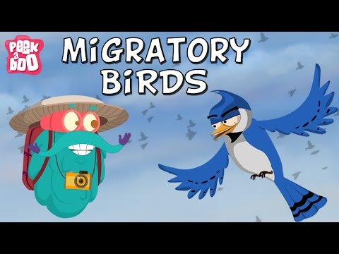 Migratory Birds | The Dr. Binocs Show | Learn Videos For Kids