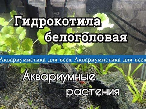 Гидрокотила белоголовая. Щитолистник белоголовый. Hydrocotyle leucocephala