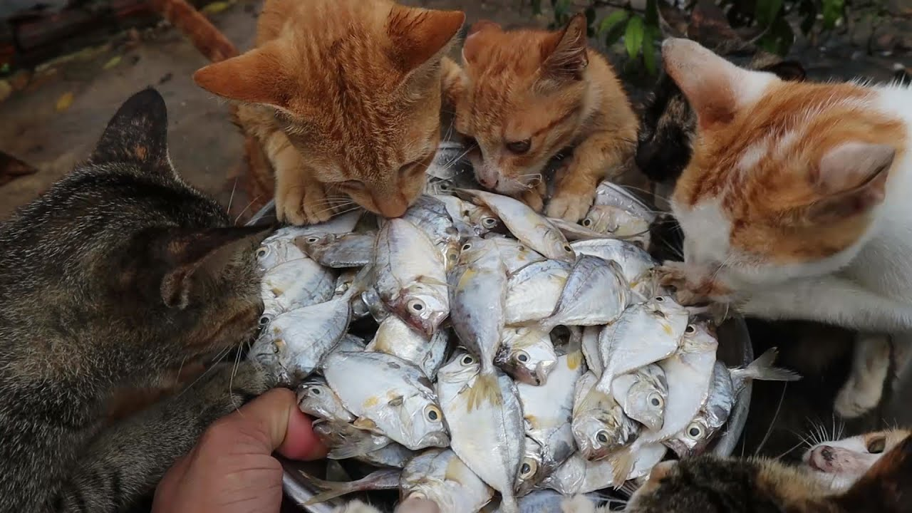 Cats eat fish - kitten eat fish -The Gohan Dog And Cats