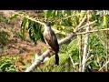 Suara Keras Burung Kutilang Pikat Gacor  Mp3 - Mp4 Download