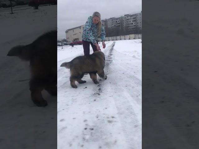 Caucasian Shepherd Dog  Female #1 for sale (3 months) | video 1