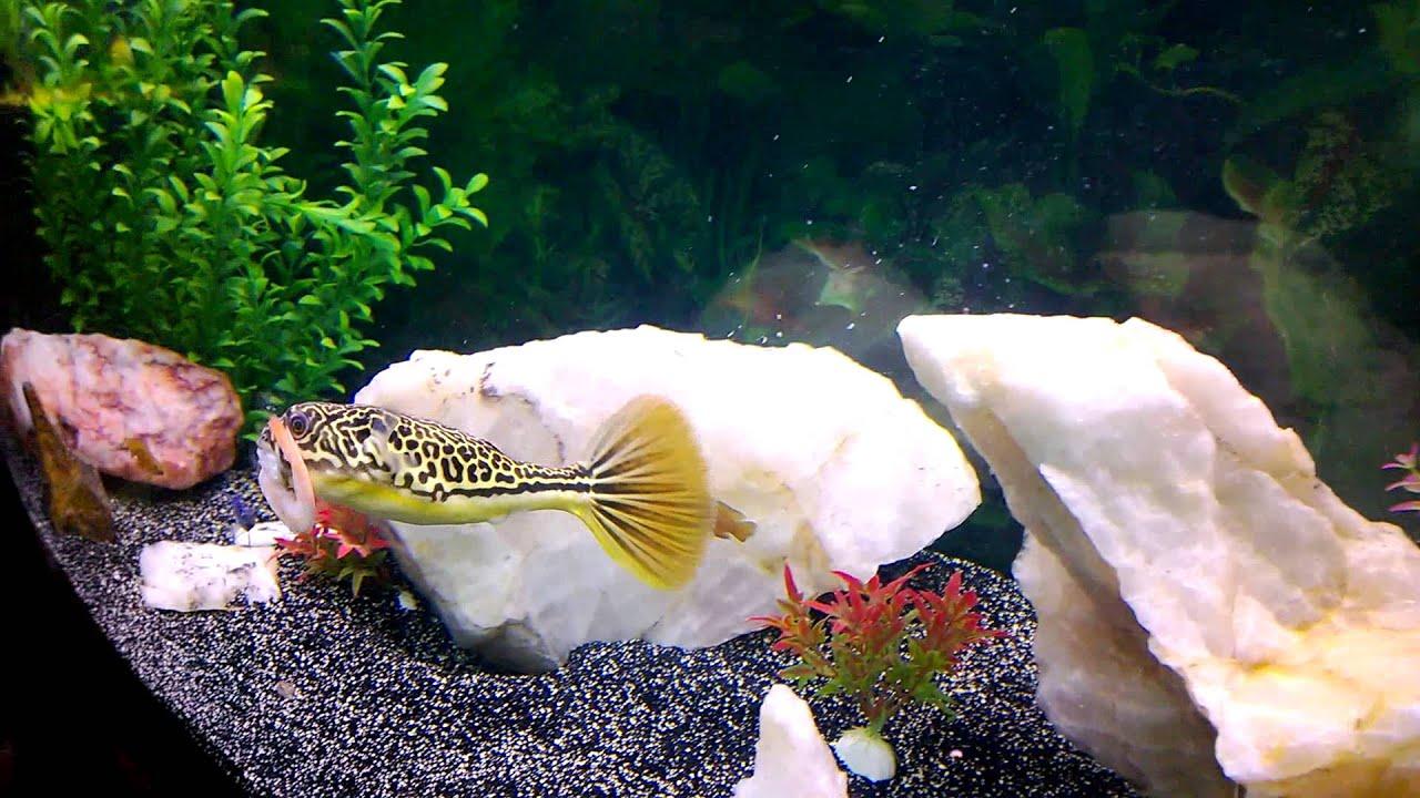 Mbu Puffer Fish Youtube