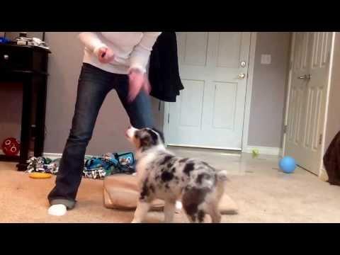 Dakota 12wks old Australian Shepherd puppy clicker training