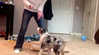 Dakota 12wks Old Australian Shepherd Puppy Clicker Training