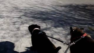 Cane Corso Vs Attack Of The Yappy Dogs