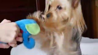 我が家のヨークシャーテリア Yorkshire Terrier 変な音の犬のボクシング?