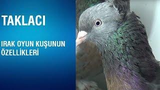 Gambar cover Taklacı - Irak Oyun Kuşunun Özellikleri