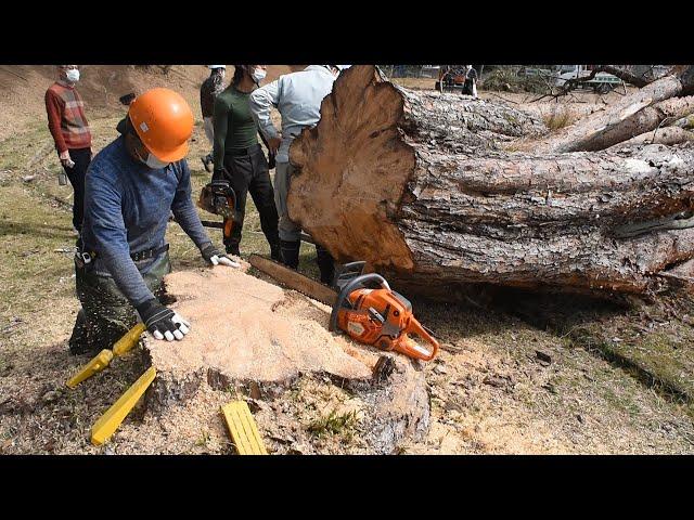 ウツクシマツ自生地 シンボルの木を伐採 湖南