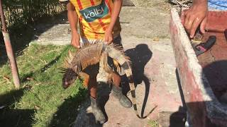 How to Clean a large Iguana for Eating