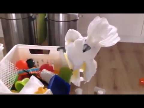 Funny Parrots Compilations Crazy Parrots Videos HD