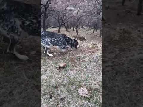 Гасконская гончая прогулка